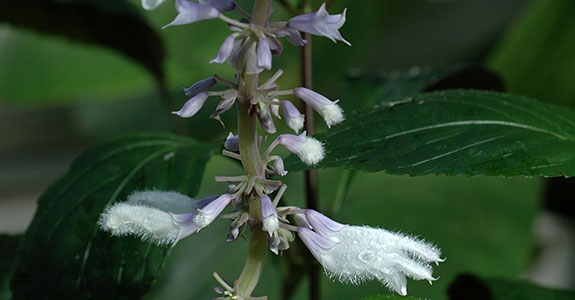 History of Salvia