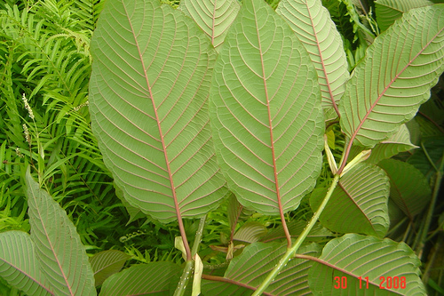 How to use Kratom – The Essential Guide