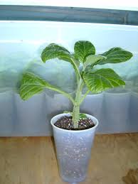 Salvia divinorum in cup clipping