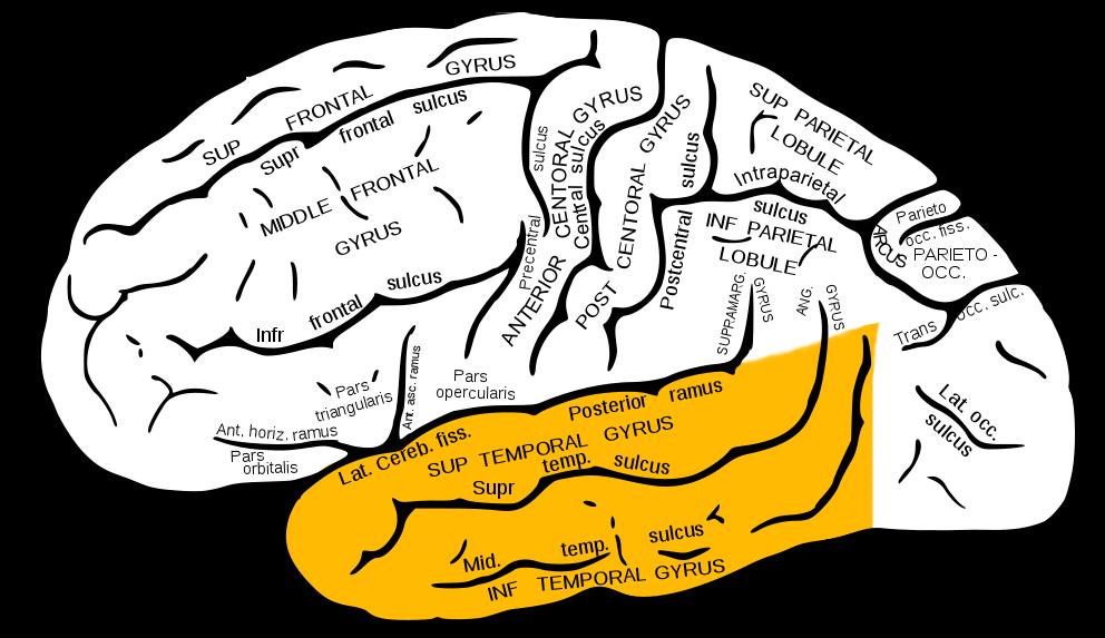 Sub temporal Lobe