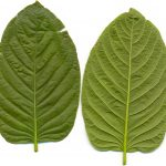 Leaves of Kratom