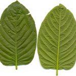 Leaves of Kratom