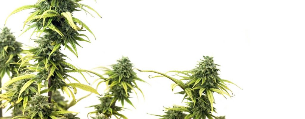CBD VS THC: Which product is the best and for what?